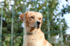 Serious watchdog Royalty Free Stock Images