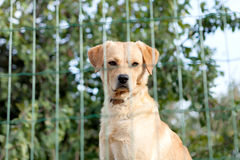Serious watchdog Royalty Free Stock Photography