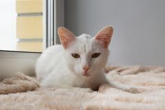 Serious white cat with green eyes is lying on a pink blanket near to the window and looking into the camera. Serious white cat with green eyes is lying on a royalty free stock photography