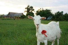 Serious White Goat with Red Bow. Serious white goat on a grassland Royalty Free Stock Photography
