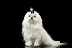 Serious White Maltese Dog Sitting, Looking in Camera Black isolated. Portrait of Serious White Maltese Dog Sitting Looking in Camera isolated on Black background Stock Photo