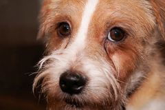 Serious wirehaired dog looking closeup portrait on brown background royalty free stock photo