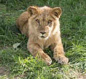 Serious Young King Lion royalty free stock photos