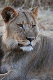 Seriouse gekleurde leeuw in de woestijn van Kalahari Stock Foto's