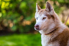 Seriously looking husky eyes. Stock Image