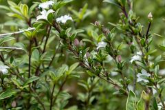 Serissa japonica(Thunb.)Thunb. Evergreen small shrubs of the Rubus family, up to 90 centimeters, with stink. Ye Jizhi, the handle is short. Flowers solitary Royalty Free Stock Image