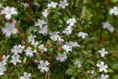 Serissa japonica(Thunb.)Thunb. Evergreen small shrubs of the Rubus family, up to 90 centimeters, with stink. Ye Jizhi, the handle is short. Flowers solitary Royalty Free Stock Photo