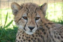 serngeti geparda niemowlę fotografujący Tanzanii Fotografia Stock