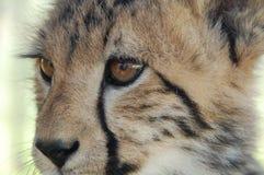 serngeti geparda niemowlę fotografujący Tanzanii Zdjęcia Royalty Free