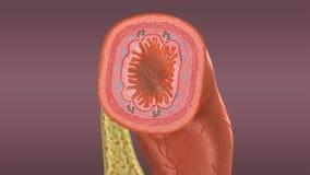 Ορώδες μεμβράνη ή Serosa απεικόνιση αποθεμάτων