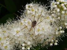 Serotina et araignée de Prunus Photographie stock libre de droits