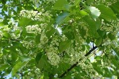 Serotina Prunus στην άνθιση την άνοιξη Στοκ φωτογραφίες με δικαίωμα ελεύθερης χρήσης