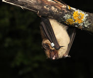Serotine bat (Eptesicus serotinus) hanging upside down