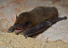 Serotine bat Eptesicus serotinus. Photo of  serotine bat on wall Royalty Free Stock Photography