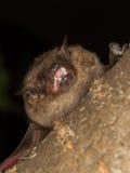 Serotine nietoperz pokazuje zęby Obrazy Stock