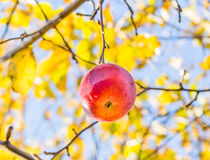 Serotinous autumn apple on a background of foliage Stock Photo