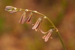 Serotinum de Dipcadi de la flor foto de archivo