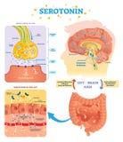Serototin vektorillustration Märkt diagram med tarmkanalhjärnaxel och CNS royaltyfri illustrationer