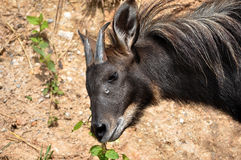 Serow Image stock