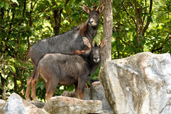 Serow Photo stock