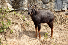 Serow Stock Images