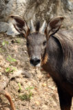 Serow Stock Photography