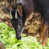 Serow, the endanger species Stock Image