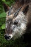 Serow japonês (crispus do Capricornis) Imagem de Stock Royalty Free