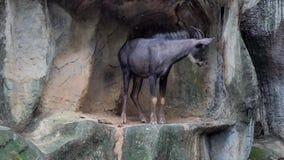 Serow na skalistych wzgórzach zdjęcie wideo