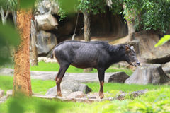 A serow, Species of goat-antelope native to mountain forests in Stock Image