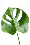serowy monstera rośliny szwajcar zdjęcia royalty free