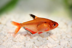 Serpae Tetra Barb Hyphessobrycon serape eques. Freshwater aquarium fish Royalty Free Stock Photography