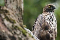 Serpant Eagle auf einem Blick heraus Stockbilder