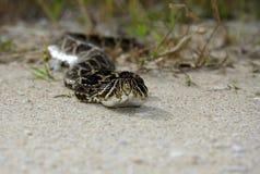 Serpent à sonnettes Photo stock