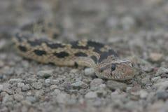 Serpent à sonnettes Photos stock
