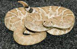 Serpent à sonnettes arrière de diamant Photo stock