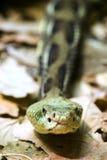 Serpent à sonnettes de bois de construction - serpent à sonnettes de Cranebrake - horridus de Crotalus Images stock