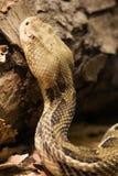 Serpent à sonnettes de bois de construction - serpent à sonnettes de Cranebrake - horridus de Crotalus Image libre de droits