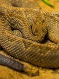 Serpent à sonnettes de Canebrake Photographie stock
