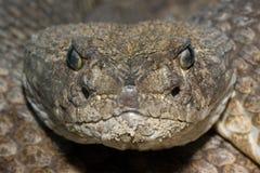 Serpent à sonnettes de dos en forme de losange du Texas photos stock