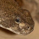 Serpent à sonnettes de dos en forme de losange du Texas Image libre de droits
