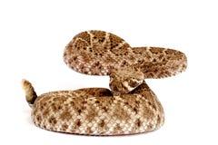 Serpent à sonnettes de dos en forme de losange occidental Photo stock