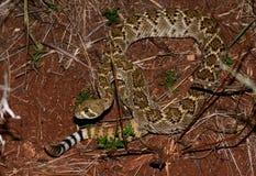 Serpent à sonnettes de dos en forme de losange occidental Photo libre de droits