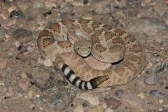 Serpent à sonnettes de dos en forme de losange occidental (atrox de Crotalus) Photo stock