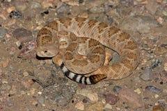 Serpent à sonnettes de dos en forme de losange occidental (atrox de Crotalus)