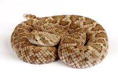 Serpent à sonnettes de dos en forme de losange occidental (atrox de Crotalus). Photographie stock