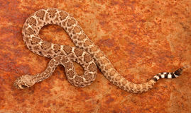 Serpent à sonnettes de dos en forme de losange occidental (atrox de Crotalus). photographie stock libre de droits
