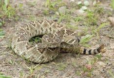 Serpent à sonnettes de dos en forme de losange occidental, DOF étroit Photo stock