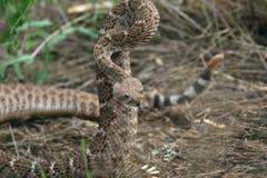 Serpent à sonnettes de dos en forme de losange occidental - Sedona, Arizona