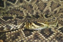 Serpent à sonnettes de dos en forme de losange oriental Photo libre de droits
